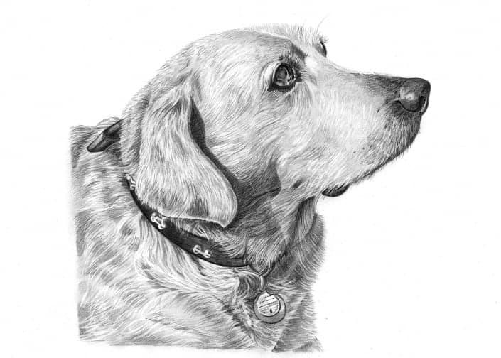 Pencil Drawing of Labrador Dog