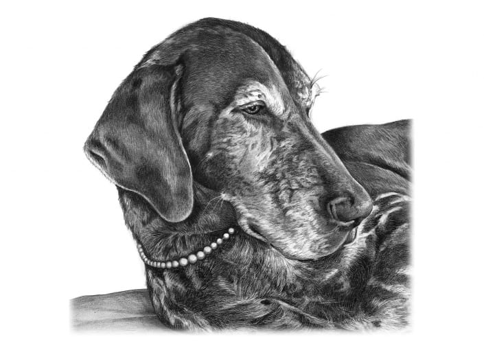 Pencil Drawing of Pointer Dog