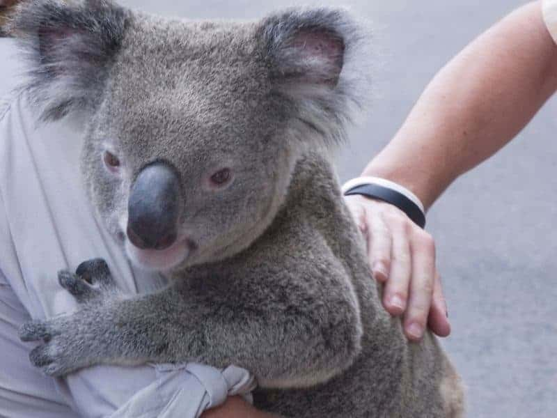An Australian Koala being held and patted