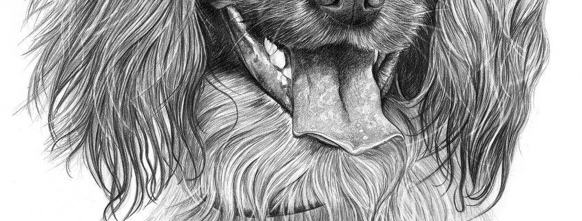 Pencil Drawing of Spaniel Dog