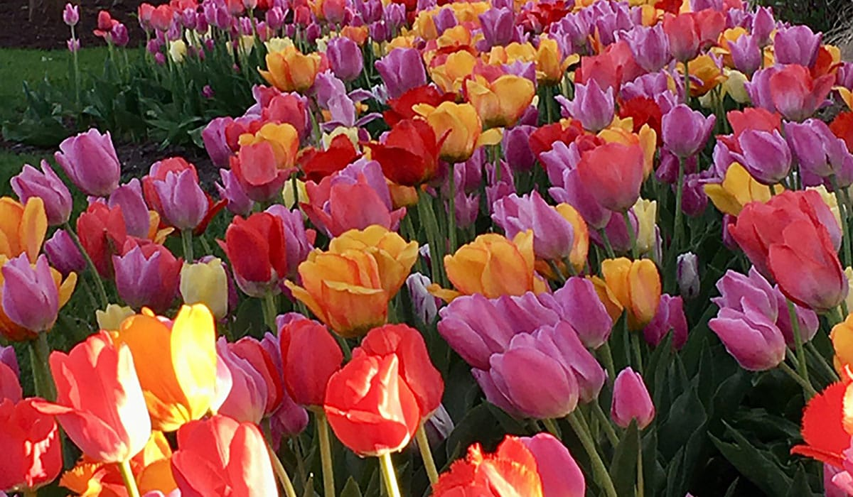Tulips Blooming Gatewayextension
