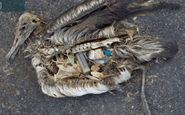 The unaltered stomach contents of a dead albatross chick photographed on Midway Atoll National Wildlife Refuge in the Pacific in September 2009 include plastic marine debris fed the chick by its parents.credit: U.S. Fish and Wildlife Service/Chris Jordan