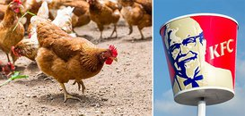 Victory: KFC Pledges to Use Antibiotic-Free Chicken by 2018