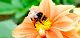 U.S. Bumblebee Gets Federal Protection … Finally