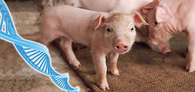 Scientists Cross Hurdle in Growing Pig Organs for Human Transplant