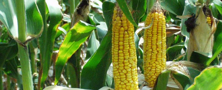 Monsanto Funded Anti-GMO Labeling Campaign Gets Away with Impersonating Govt. Agencies