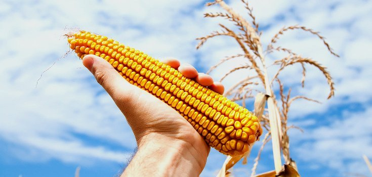 Monsanto is Running the USDA: Two GMO Crops Approved This Year