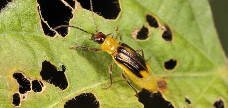 Herbicide-Resistant Insects Are Destroying GMO Crops Like Never Before