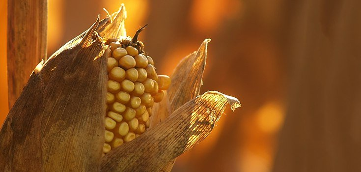 African Experts Reject Monsanto's Drought-Resistant GM Maize