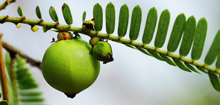 The Power of Amla: Excellent for Treating Diabetes, Boosting Heart Health, & More