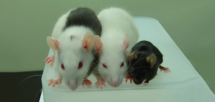 Mouse Pancreas Grown in GMO Rats Reverses Diabetes in Mice
