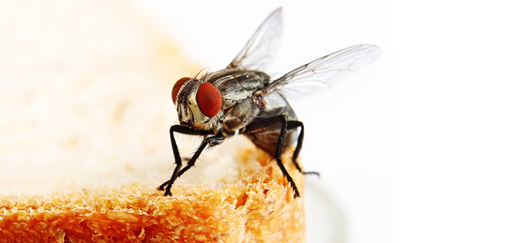 Houseflies Carry 100's of Diseases – Cause for Concern?