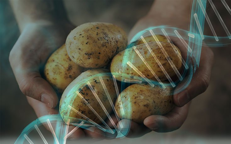 Food Scientists: New GMO Potatoes 'Extremely Worrisome'