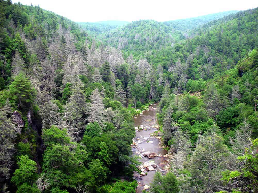 Gray ghost forest in the southern Appalachians. A hemlock woolly adegid infestation has killed many hemlock trees in the Linville Gorge area of Pisgah National Forest in North Carolina. Photo: U.S. Forest Service/Steve Norman.