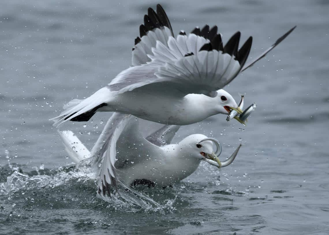 Black-legged Kittiwakes forage on Pacific sand lance and capelin near their colony on Gull Island, Cook Inlet on June 28, 2018. Photo: Sarah Schoen, USGS, Alaska Science Center. Public domain.
