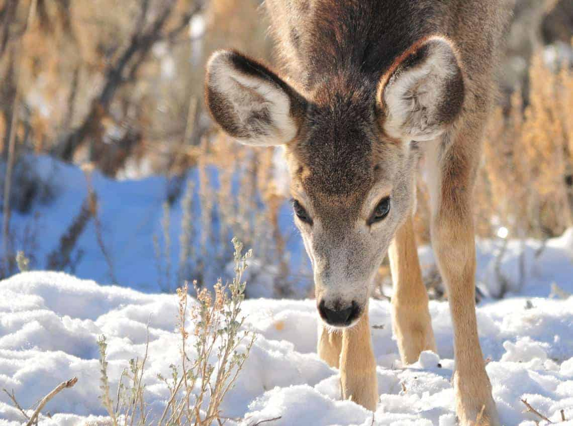 Mule Deer Fawn on Winter Range in SW Wyoming. Photo: Tom Koerner, U.S. Fish and Wildlife Service. Public domain.