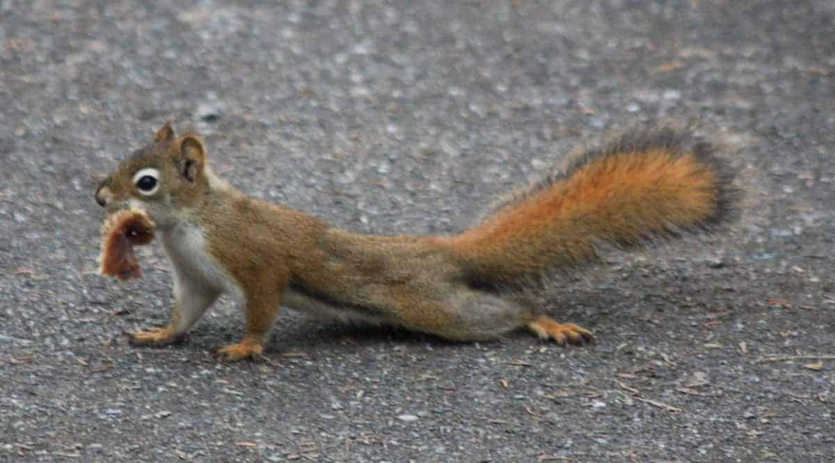 A red squirrel lies partially flat against the ground while carrying food in its mouth.
