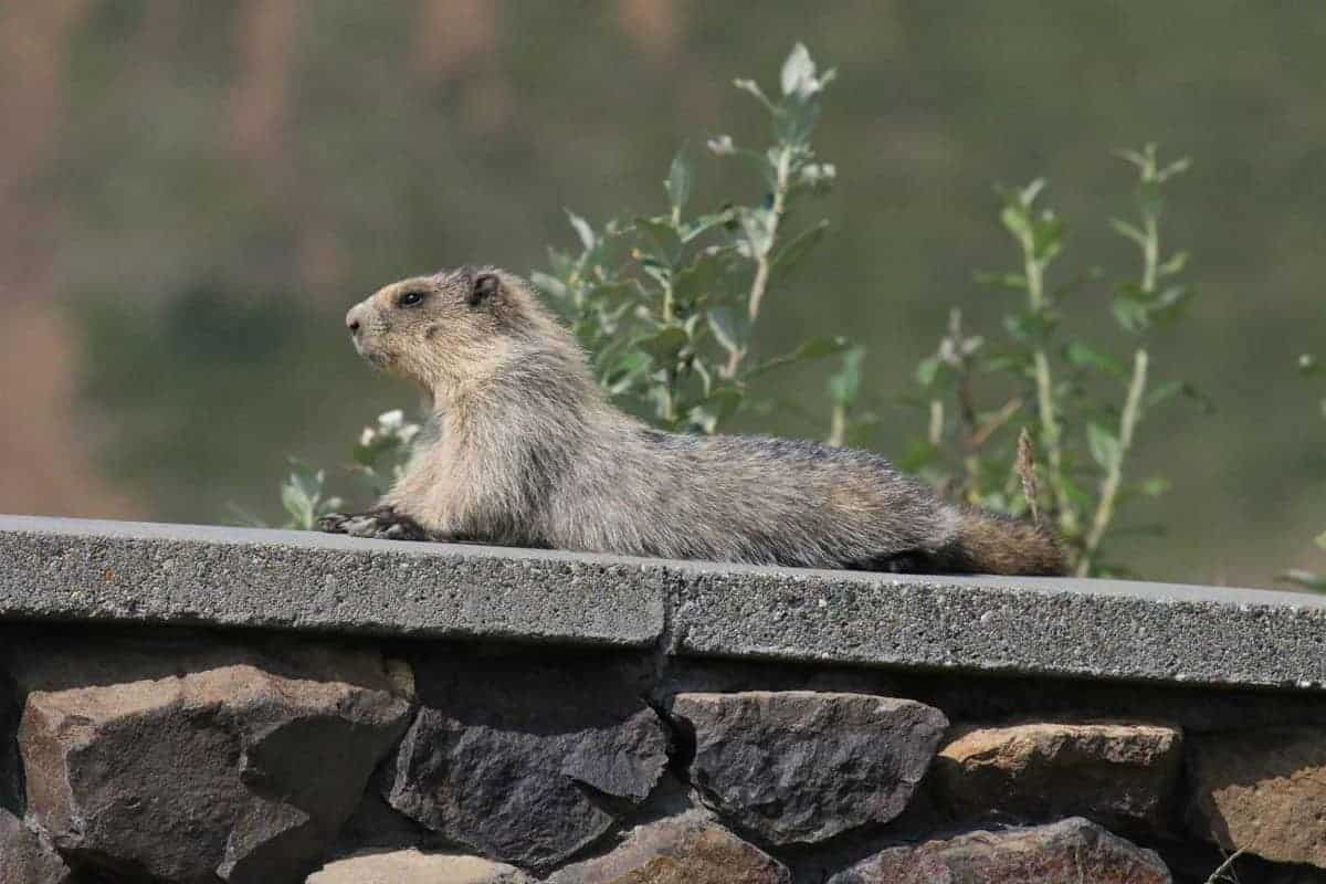 A hoary marmot relaxing during a sunny day on a rock ledge by the Eielson Visitor Center in Denali National Park, AK.