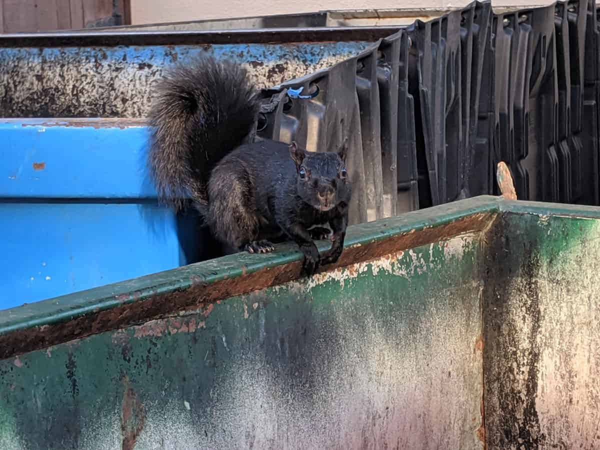 A black Eastern gray squirrel looks in a trash container.  Photo: Caitlin Dempsey, CC BY 4.0