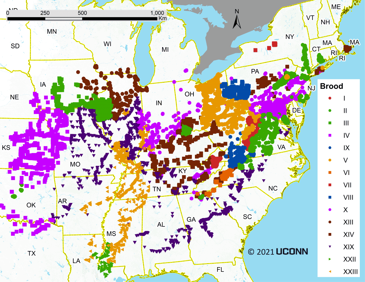 Broods of periodical cicadas, identified by Roman numerals, emerge on 13- or 17-year cycles across the eastern and midwestern U.S.  University of Connecticut, CC BY-ND