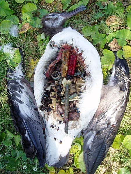 A dead Laysan albatross chick, showing a belly full of plastic garbage.  Photo: Claire Fackler, NOAA.