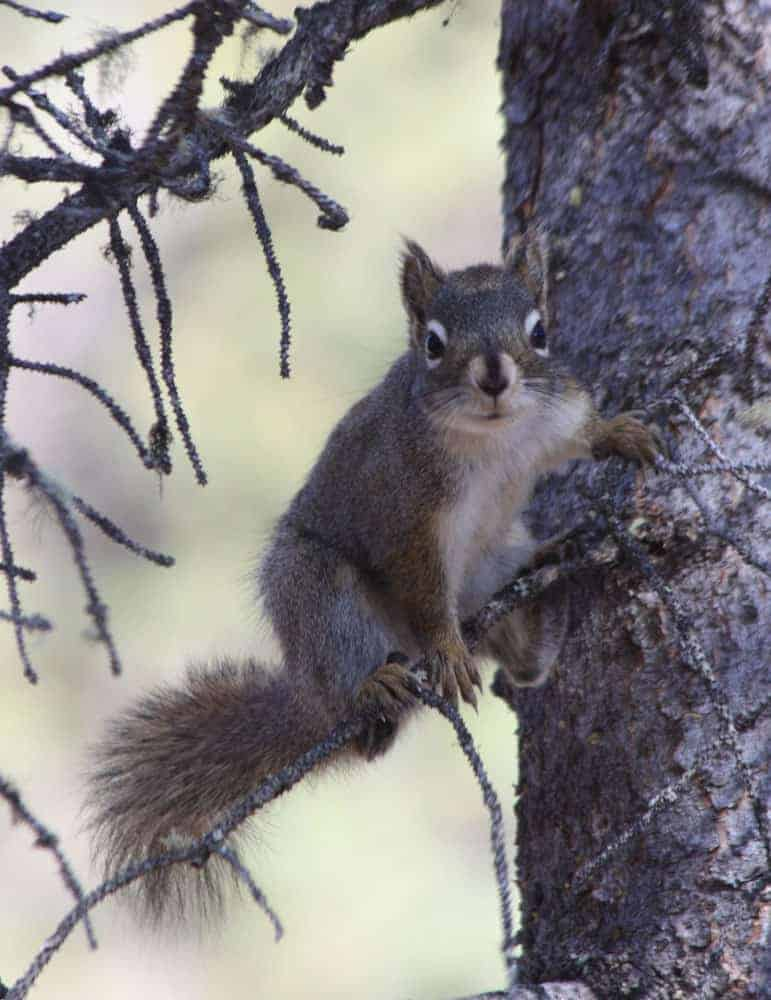 Picture of a red squirrel sitting in a spruce tree, Denali National Park.