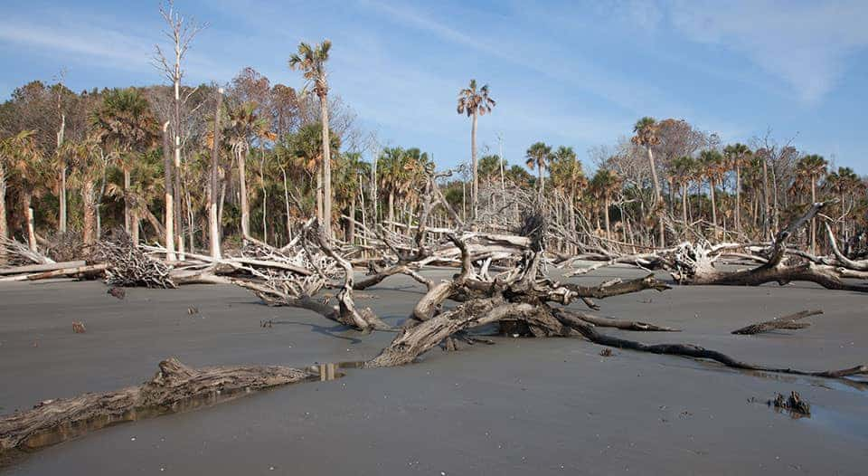 A ghost forest on Capers Island, South Carolina. Photo: NOAA.