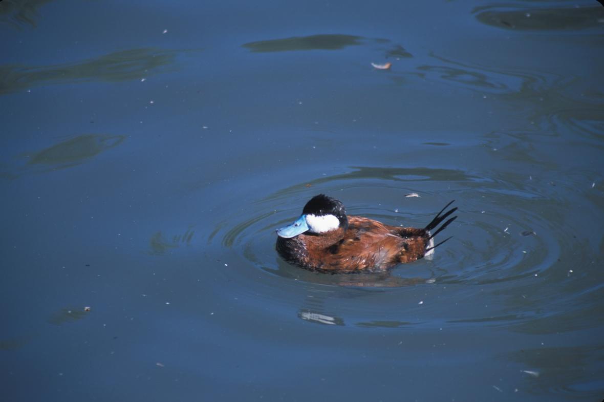 Male ruddy duck swimming in water. Photo: John J. Mosesso, USGS. Public domain, Illinois, JULY 1, 2003.