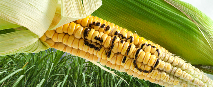 Scotland to Ban GMO Crops From Being Grown