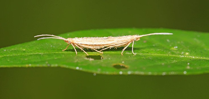 Open Field Trials for GM Moths Slammed by Eco Groups