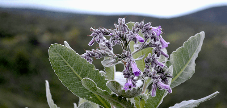 """This """"Holy Herb' Shows Promise in Treating Alzheimer's Disease"""