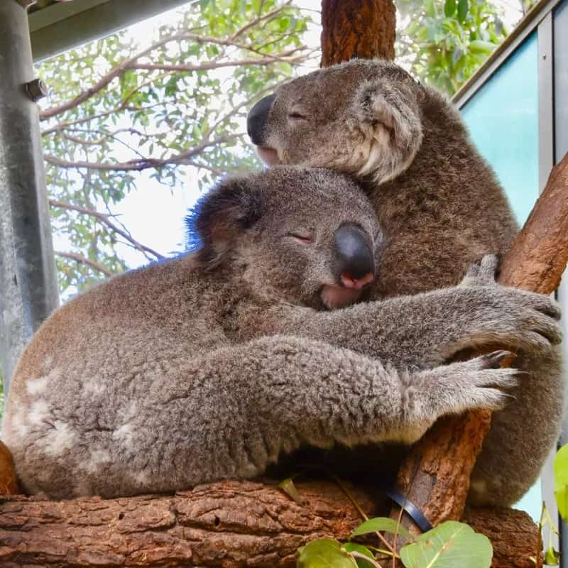 Brothers // Koalas have no natural enemies. In order to process their food, they need to sit still for 21 hours a day. So human cuddling and handling isn't good for them.
