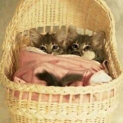 two kittens in baby bassinet catnapping