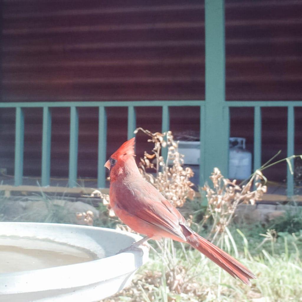 Cardinal-on-birdbath