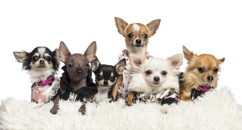 different types of chihuahuas