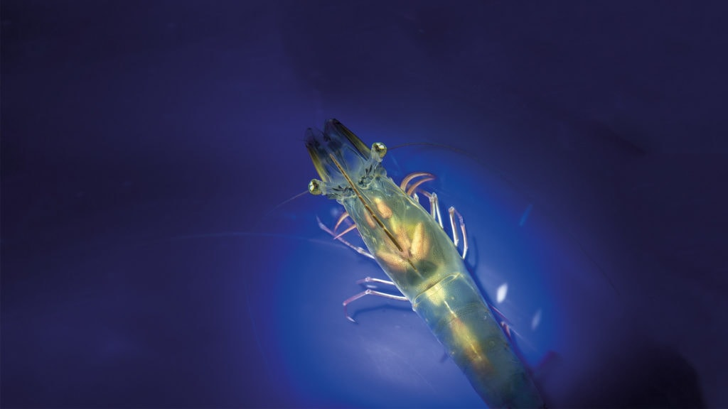 Close-up of a shrimp against a blue background