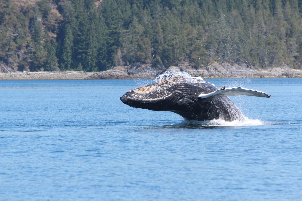 Humpback Whale Breaching seen on Whale Watching Tour