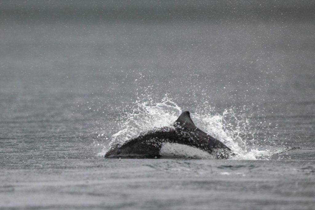 Dalls Porpoise splashing through the water