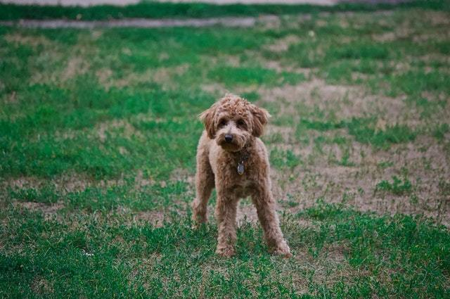 Brittany Poodle Mix Breed The