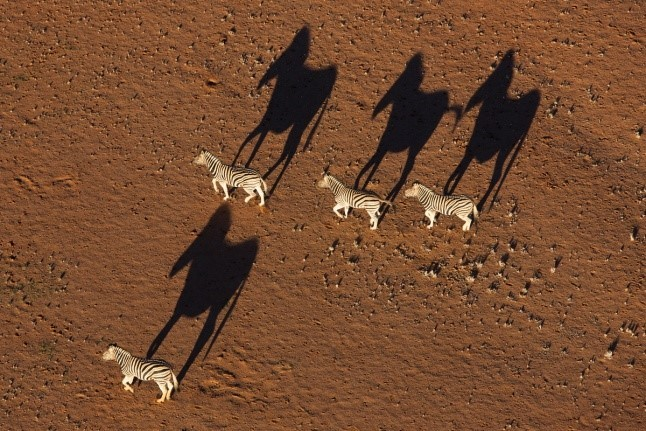 Theo's 4 zebras with long shadows
