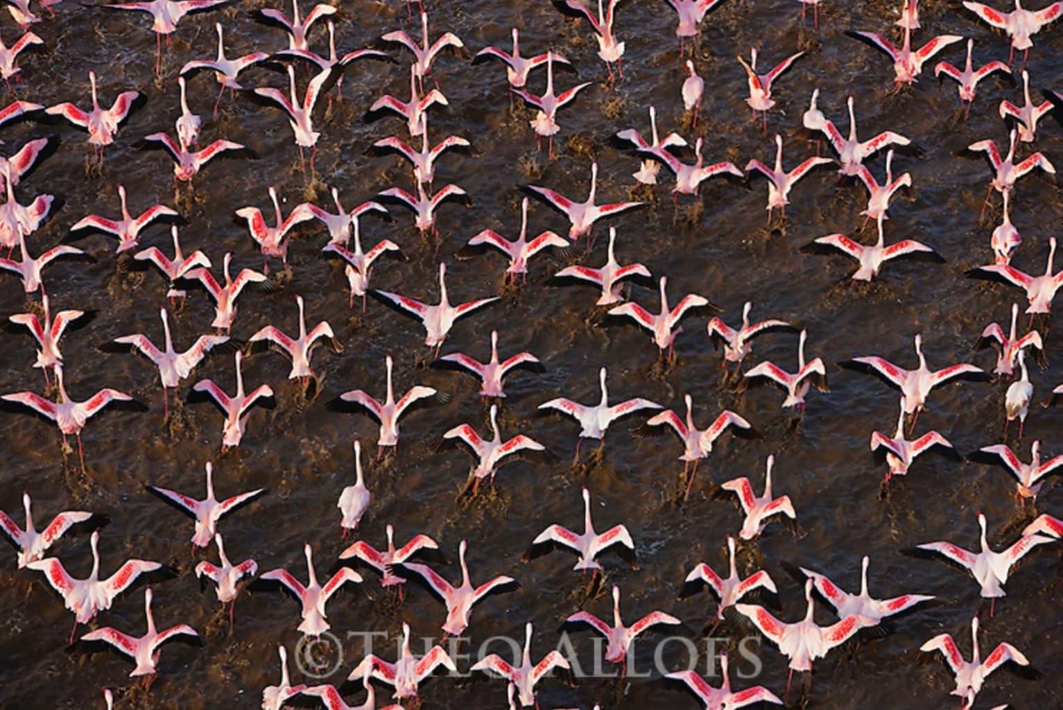 Image: Flamingos taking flight over a lake