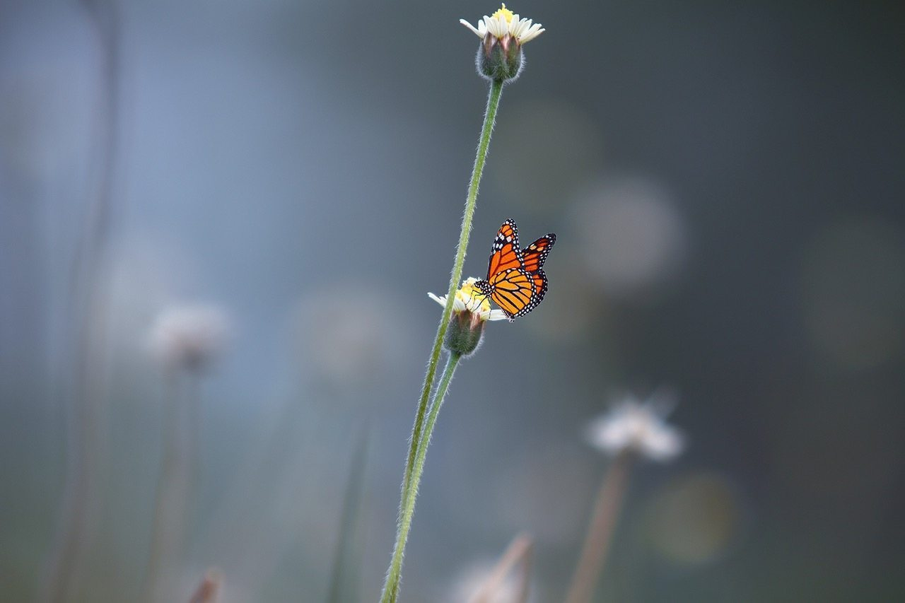 Image: Butterfly on a solitary daisey