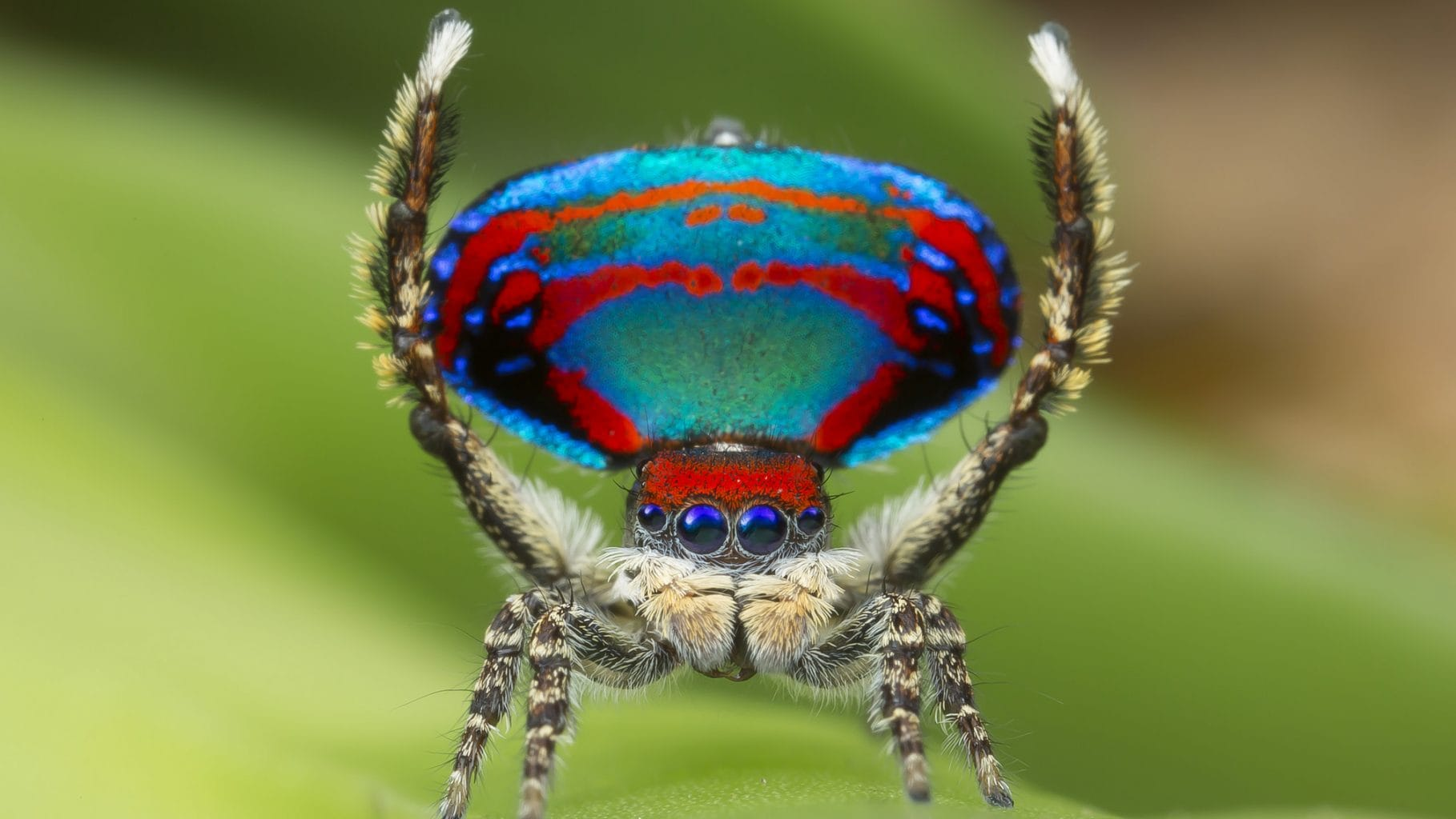 Image: Male Peacock Spider on a leaf with his arms up!