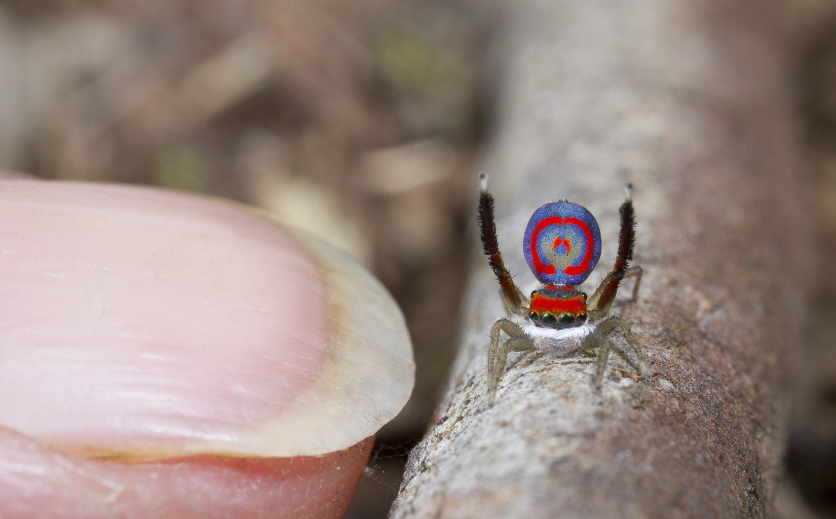 Image: Male Jumping Spider looking very small next to a fingernail!