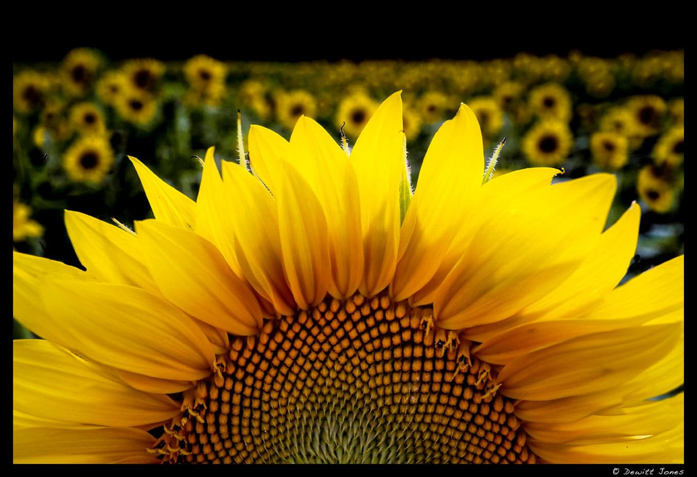 Image: Sunflower close up with a field of sunflowers in the background