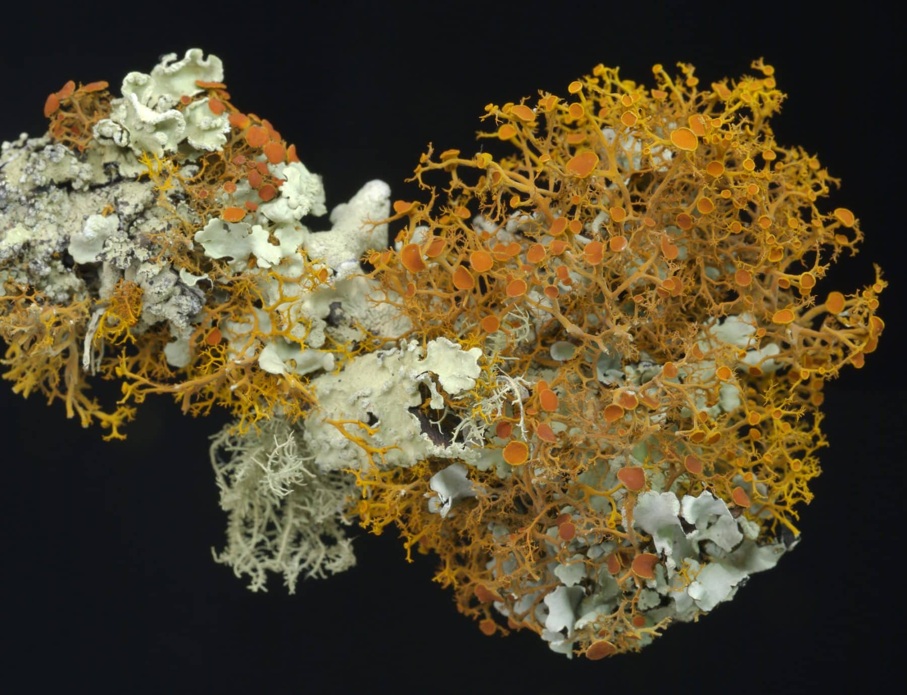 Image: lichen in orange and green growing in many shapes