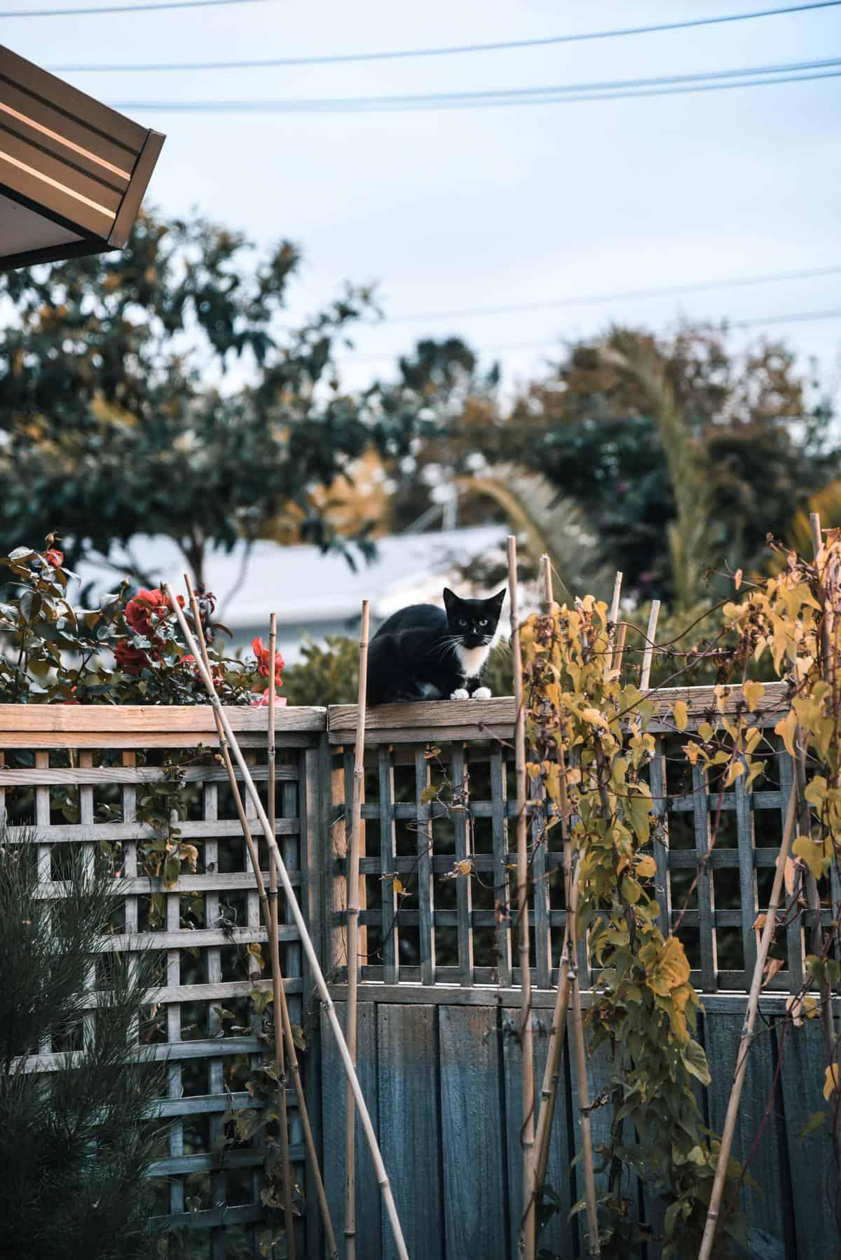 gato sueto valla es