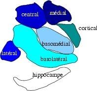 Hypnoscient - Sous Division de l'Amygdale