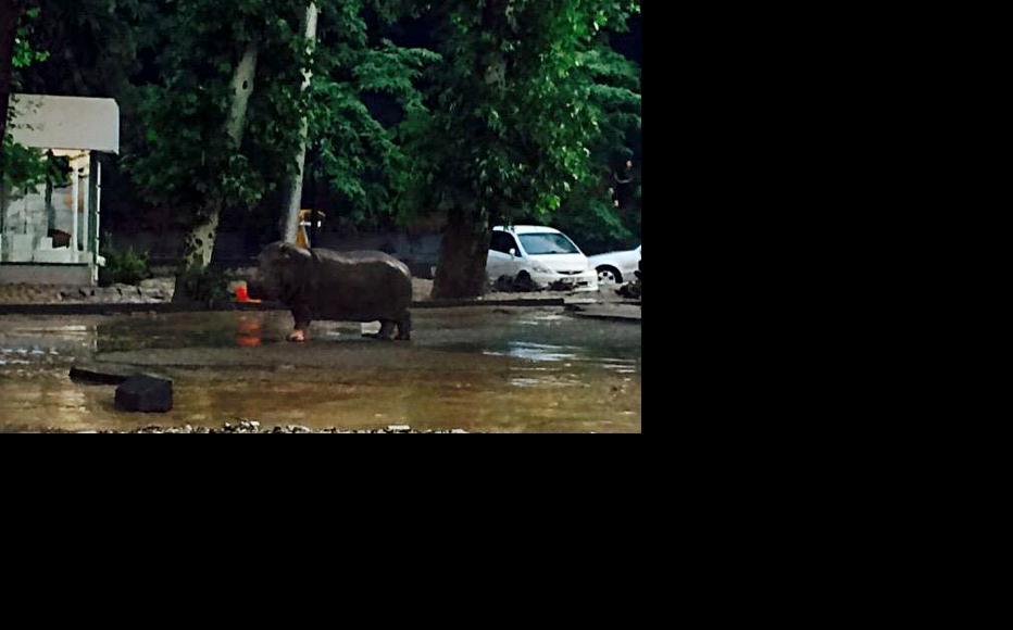 A hippopotamus wanders through Tbilisi. It was later recaptured. (Photo: Tbilisi City Hall)
