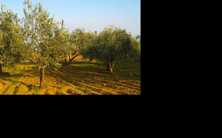 Neglected olive groves in Tal Minis, Idlib. (Photo: Manaf al-Hashash)